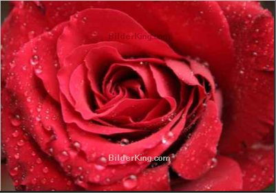 Leinwandbild - g.wdowiarz : red rose