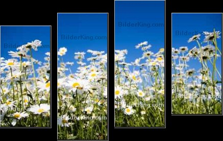 Leinwandbild - Kati Finell : Field of daisies against bright blue sky