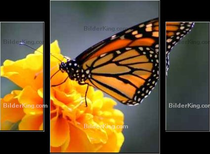 Leinwandbild - Ron Smith : monarch butterfly
